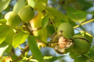 Walnut 胡桃 10ml
