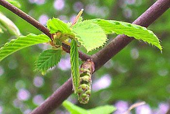 Hornbeam 鐵樹 (鵝耳櫪)
