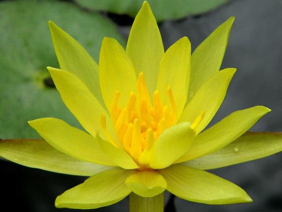 Water Lily 睡蓮花 10ml