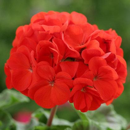 Geranium 天竺葵 (三位一位花精) 10ml
