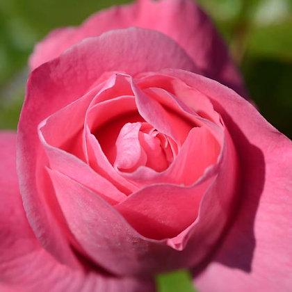 Pink Rose 粉紅玫瑰 10ml