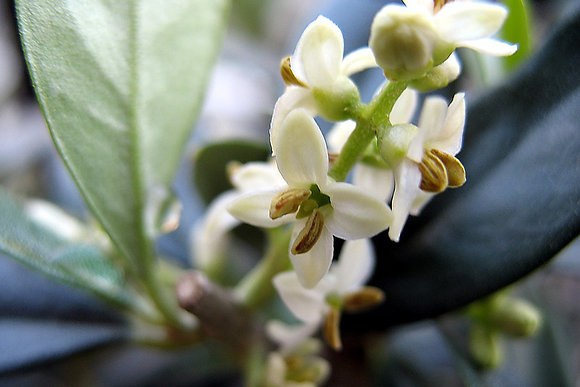 Olive 橄欖 10ml