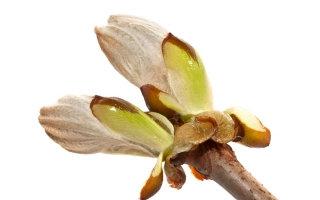 Chestnut Bud 栗子芽 10ml