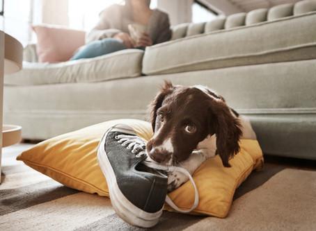 Cómo educar a tu perro para que no muerda los objetos de casa.