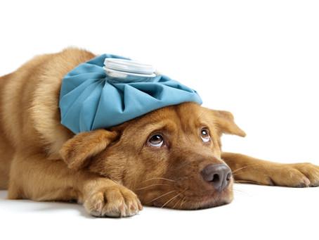 ¿Cómo saber cuando un perro está enfermo?.