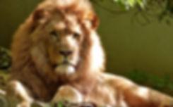 AURORA LION.jpeg