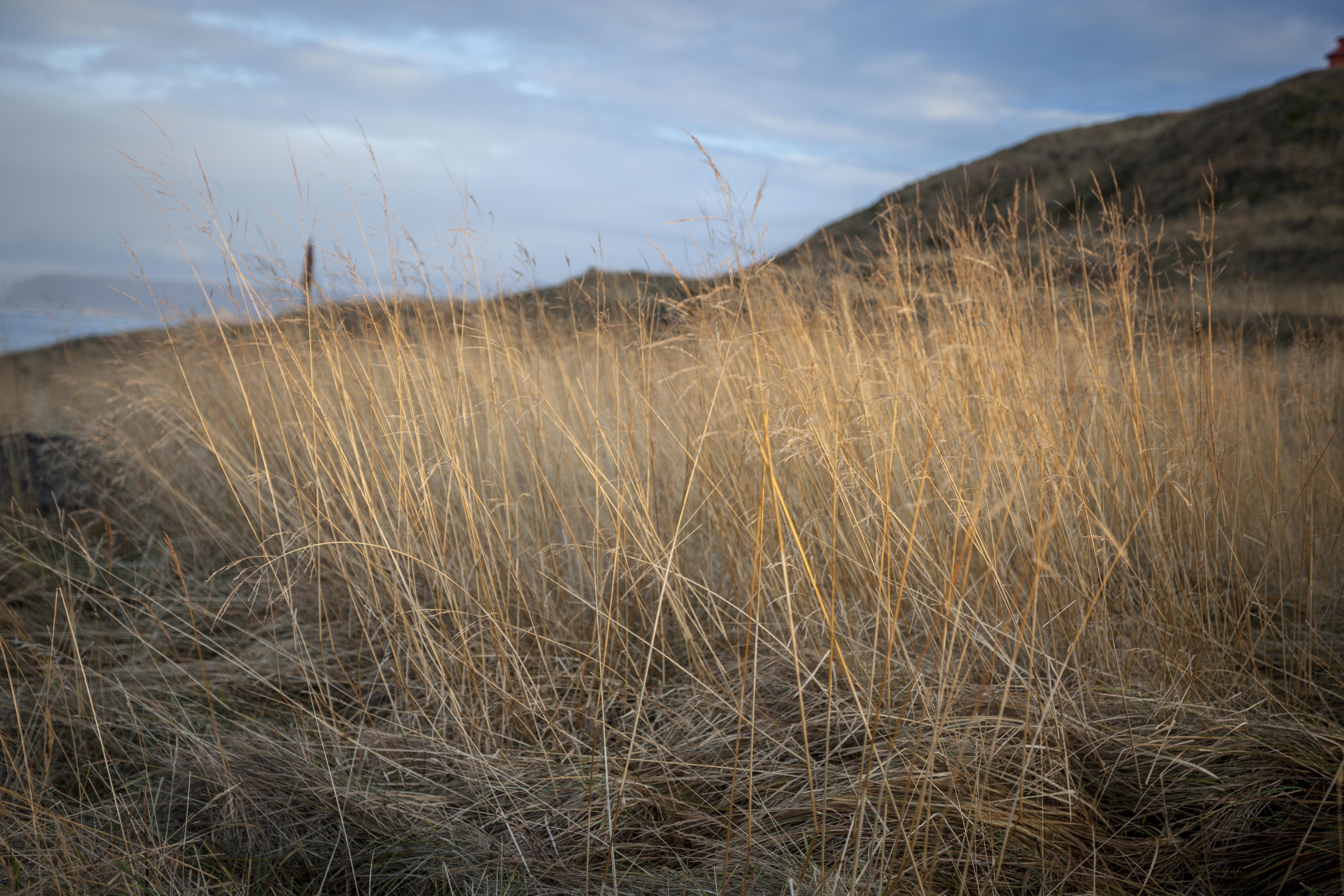 Grasses in the Sunlig
