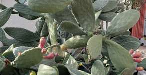 NOPAL, The Desert Flower of Life