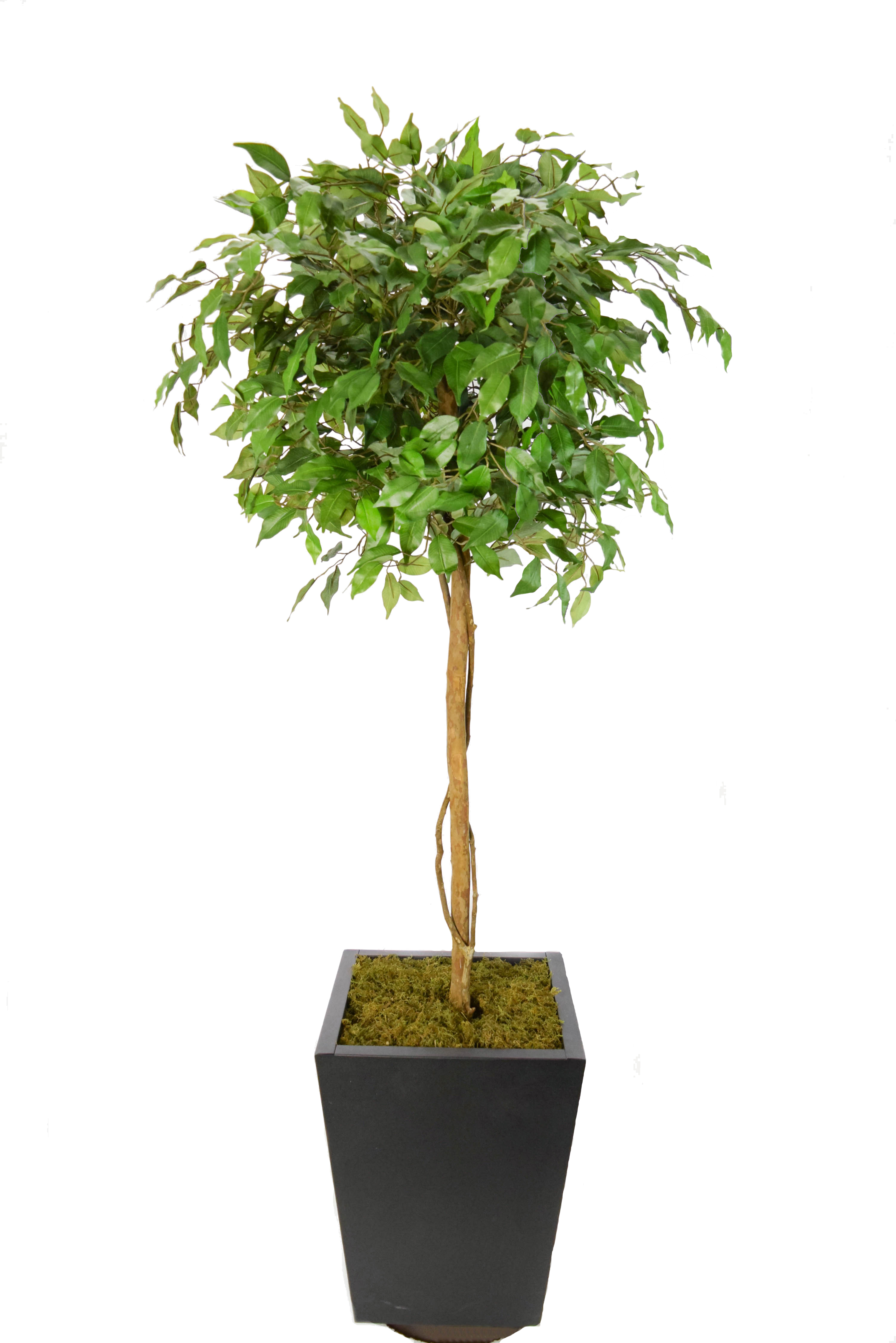 Topiara fícus verde x1