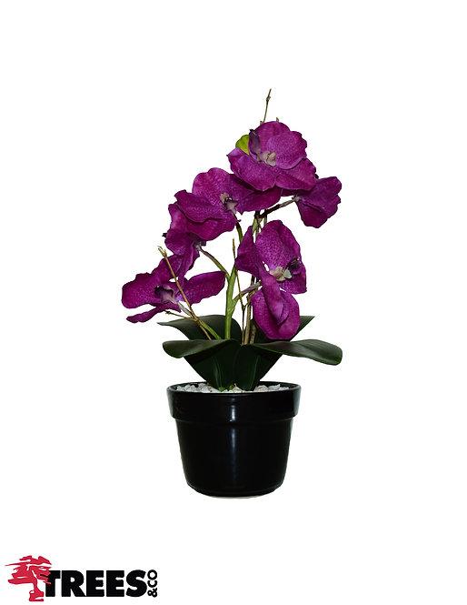 Orquídea Wanda Beauty_Vaso Preto