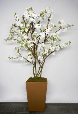 Cerejeira Branca