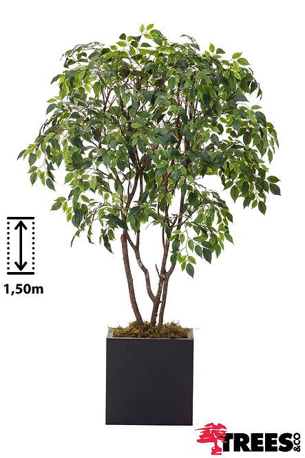 Ficus Nitada Verde