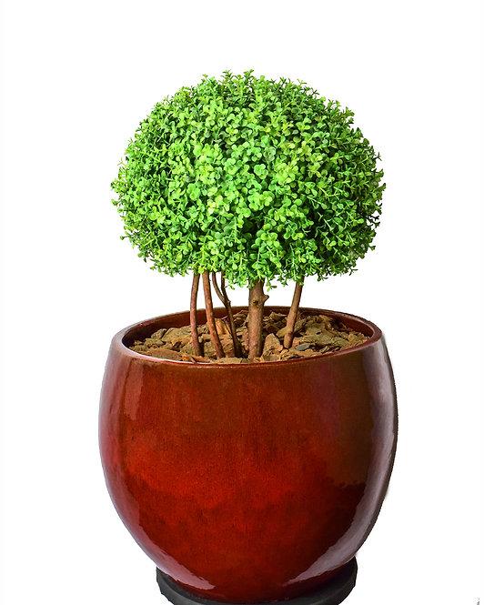 Arbusto Eucalipto Tradicional