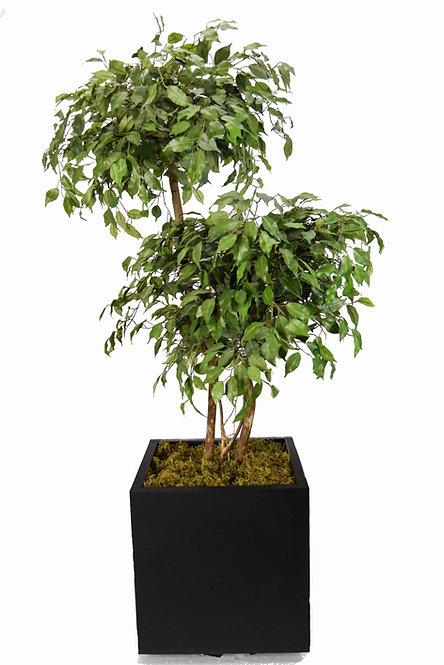 Fícus Topiara Verde x2