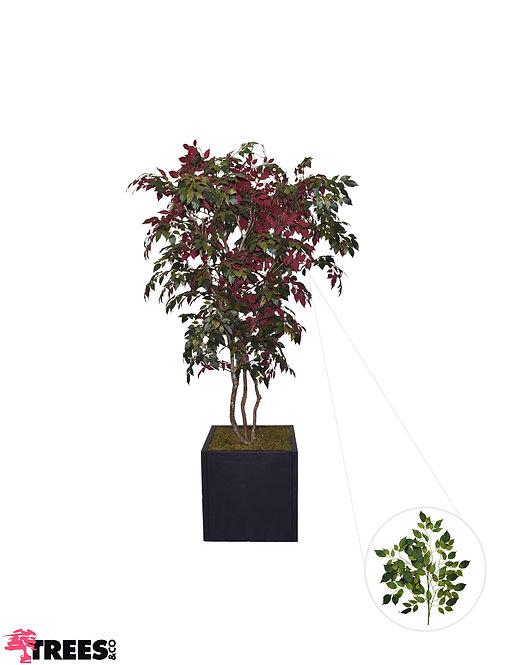 Ficus Nitada Carpensia