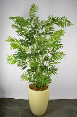 Palmeira Kentia