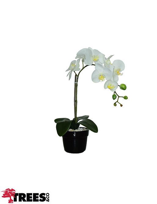 Orquídea Real Branca x1