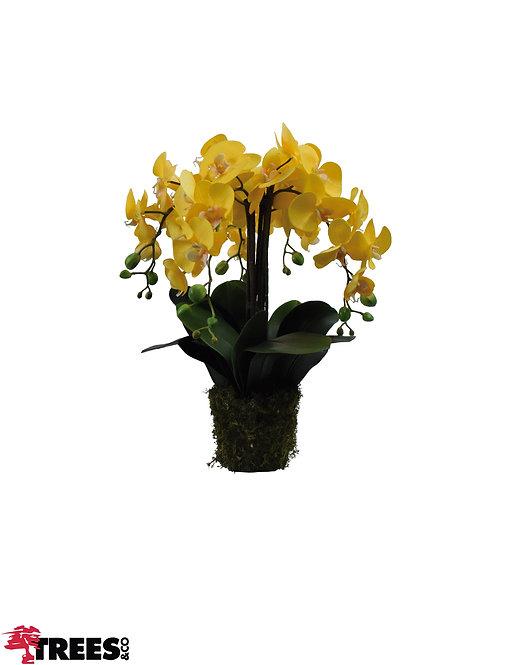 Orquídea Real Amarela x5_Sem Vaso