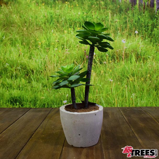 Suculenta Mini Árvore