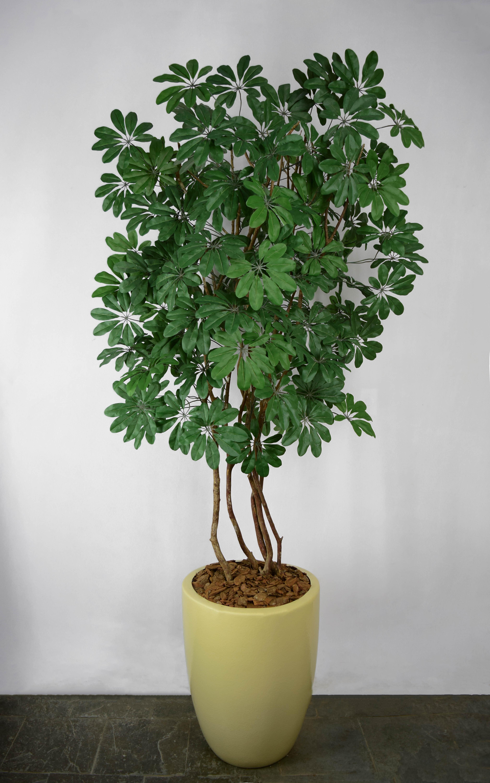 Schefflera Verde