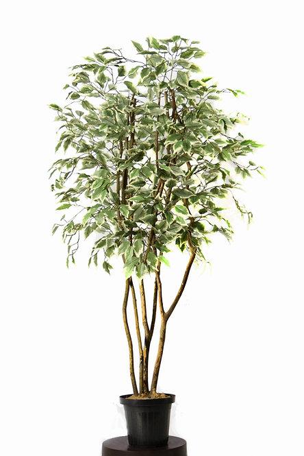 Ficus Varigata