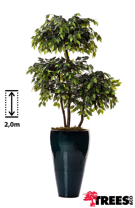 Ficus Topiara Verde X3