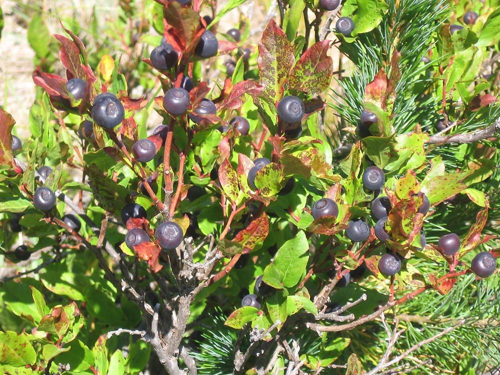 Big Leaf Huckleberry