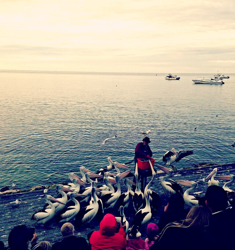 The Kingscote Pelican Man, Kangaroo Island.  Pic. Fourth Hen Creative