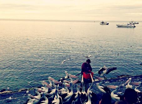 The Iconic Pelican Man – Kingscote, Kangaroo Island