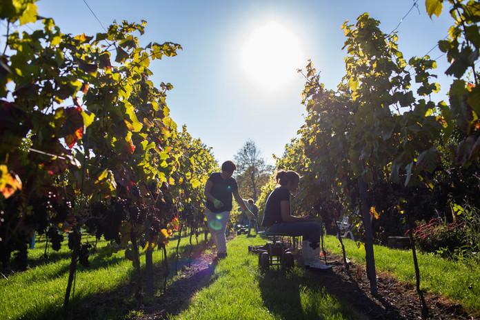Wijngaard Westerhoeve