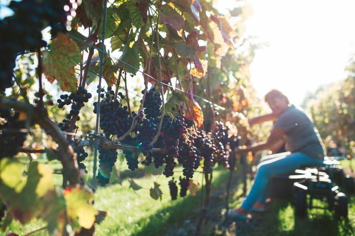 Najaar wijngaard
