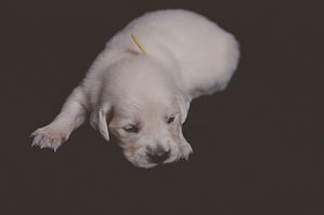 Yellow Male - Golden Retriever Puppy for Sale