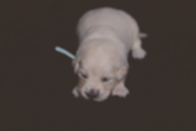 Light blue Female - Golden Retriever Puppy for Sale