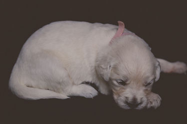 Pink female - Golden Retriever Puppy for Sale