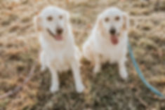 Lacey & Willow - Golden Retrievers