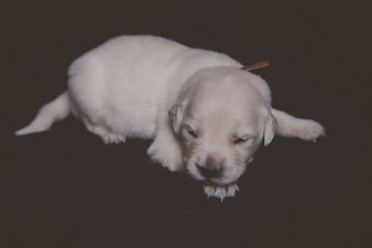 Brown Male - Golden Retriever Puppy for Sale