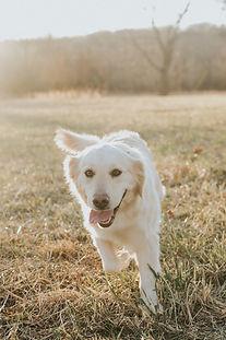 Lacey - Golden Retriever