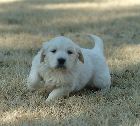 English Cream Golden Retriver Puppies Missouri