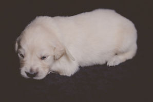 Male #1 - Golden Retriever Puppy for Sale