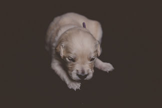 Purple male - Golden Retriever Puppy for Sale