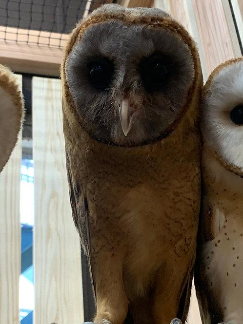 ススガオメンフクロウ(Tyto glaucops)