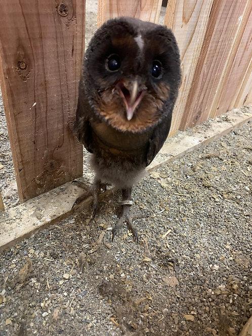 メンフクロウ・ブラック(Tyto alba)