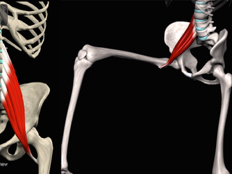 All about the Psoas Muscle