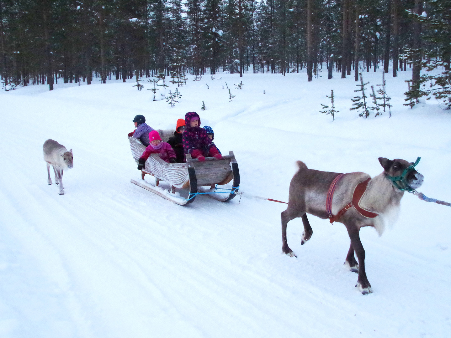 Reindeer Farm 90.jpg