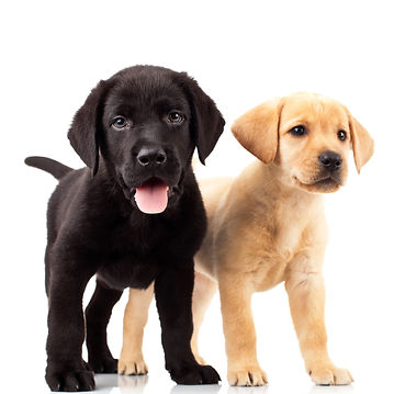 two cute labrador puppies - one with mou