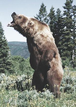 Totems, Life Rebel, Bear