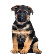 puppy-german-shepherd-dog-sitting-isolated-on-white_edited.png