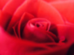 close-up-of-red-rose-242847.jpg
