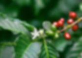 Fleur de caféier. _Coffee blossom._кофей