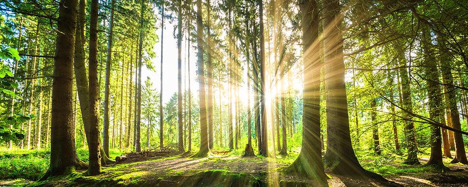 Forest-with-Sun-000077157093_Medium.jpg